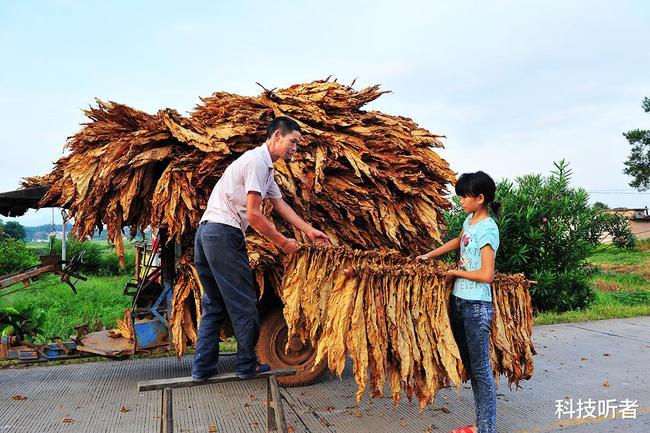 香烟的原材料加工又被称为制丝,主要是将烟草进行一系列的处理,使其达到制烟标准,最后将其制作成烟丝。制丝方面最基础的工作是烟叶的筛选
