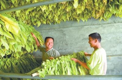 8月8日,邓州市彭桥镇绳岗村烟农们正忙着把成熟的烟叶编杆、扎把,将一杆杆烟叶送进烤房。