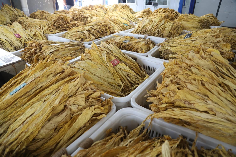 """河南省驻马店市确山县烟丝,烟叶怎么卷?""""中部烟,色橘黄,油分足,中部三级烟。"""