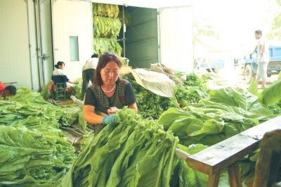 8月7日,灵宝市苏村乡卫家磨村烟农李云霞正在将采摘下的烟叶进行编扎。该乡今年完成种烟面积1万亩,目前已进入烘烤阶段。